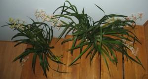 orhideja2-mala