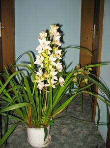 orhideja3-mala
