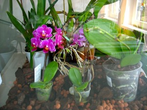 orhideja5-mala