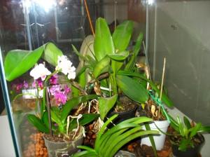 orhideja6-mala