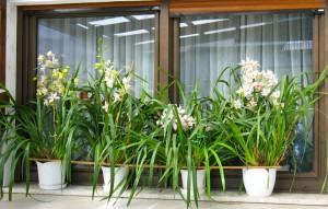 orhideja7-mala